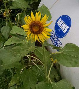 Akins Petroleun Propane Tank w Sunflower
